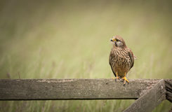 Kestrel Perched Royalty Free Stock Photography