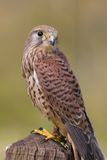 Kestrel Perched On Post Royalty Free Stock Photo