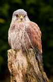 Kestral resting close up Stock Photo