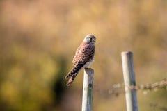 Kestrel Perching. Bird Of Prey Looking To Camera Royalty Free Stock Images