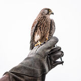 Kestrel. Photo of Kestrel sitting on falconers hand isolated on white background Royalty Free Stock Images