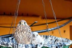 Kestrel pigeon Stock Photos