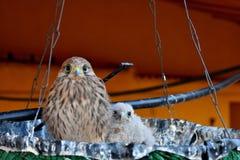 Kestrel pigeon stock photo