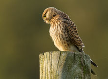 Kestrel on a pole Stock Photos