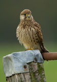 Kestrel on a pole Stock Image