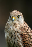 Kestrel portrait Royalty Free Stock Photography