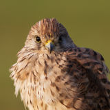 Kestrel portrait/Common Stock Photo