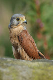 Kestrel portrait Royalty Free Stock Photo