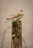 Kestrel Portrait. A Kestrel perches on an old post after a successful hunt Royalty Free Stock Images