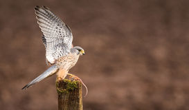 Kestrel on a post. An adult kestrel on an old post with its wings up holding a mouse Stock Image