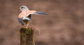 Kestrel on a post. An adult kestrel on an old post with its wings up holding a mouse Royalty Free Stock Photos