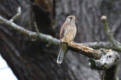 Kestrel pozycja w drzewie Fotografia Stock