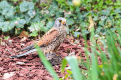 Kestrel with prey Stock Images