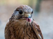 Kestrel with a prey. A kestrel in the foreground with a prey just caught Royalty Free Stock Photos