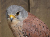 Kestrel. In profile, with full colours on display Stock Photography