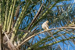 Kestrel ptak zdobycz zdjęcia stock