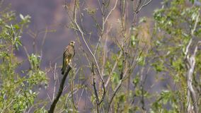 Kestrel resting on the top of a branch observing mice in the countryside. In may royalty free stock photo