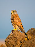 Kestrel on the rocks Stock Photography