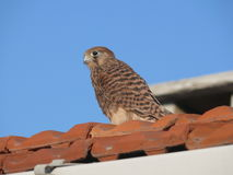 Kestrel on the roof Royalty Free Stock Photos