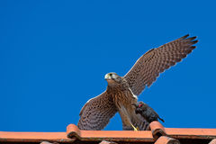Kestrel's, the juvenile, capture on the roof. The juvenile kestrel (Falco tinnunculus) on the roof with her capture in the claws, a big vole, in Uppland, Sweden stock image