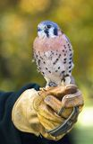 Kestrel Sits on Handler's Fist Royalty Free Stock Photo