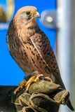 Kestrel sitting on a hawkers glove. D hand stock photography