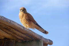 Kestrel sitting on a roof. In South Africa Stock Image