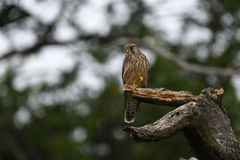 Kestrel standing in a tree Stock Images