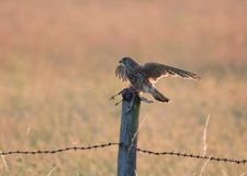 Kestrel with starling as prey royalty free stock image