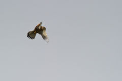 Kestrel Stopping In The Air Royalty Free Stock Images