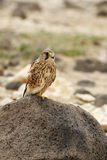 Kestrel (tinnunculus do Falco) foto de stock royalty free