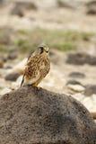 Kestrel (tinnunculus Falco) стоковое фото rf