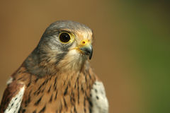 Kestrel Royalty Free Stock Photography