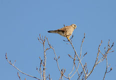 Kestrel on a tree Stock Image
