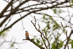 Kestrel in a tree Royalty Free Stock Images