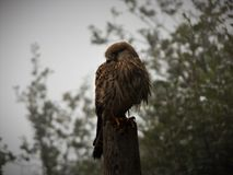 Kestrel, Turmfalke stock photography