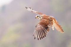Kestrel varied bird Royalty Free Stock Image