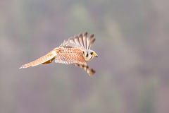 Kestrel varied bird Royalty Free Stock Photography