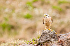 Kestrel varied bird Royalty Free Stock Photos