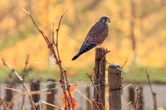 Kestrel in the Vineyards. Common Kestrel sitting on a post in yellow autumn vineyard Royalty Free Stock Photography