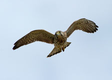 Kestrel w locie (Falco tinnunculus) Zdjęcie Stock