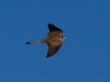 Kestrel watching for mouse  Falco tinnunculus Stock Photo