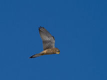 Kestrel watching for mouse Falco tinnunculus Royalty Free Stock Image