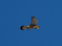Kestrel watching for mouse Falco tinnunculus Royalty Free Stock Images