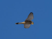 Kestrel watching for mouse Falco tinnunculus Royalty Free Stock Photography
