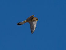 Kestrel watching for mouse Falco tinnunculus Stock Image