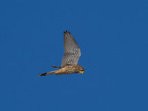 Kestrel watching for mouse Falco tinnunculus Royalty Free Stock Photos