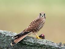 Kestrels catch (Falco tinnunculus) Stock Images