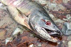 Keta saumoné d'Oncorhynchus de copain mort en rivière de Chehalis, Fraser V photo libre de droits