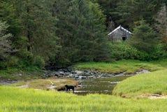 ketchikan alaska björn Royaltyfri Fotografi